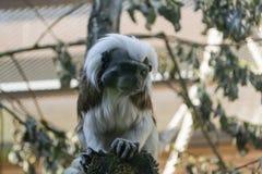 Γραπτός μικρός πίθηκος Oedipus Tamarin χρώματος Στοκ φωτογραφίες με δικαίωμα ελεύθερης χρήσης
