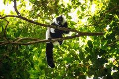 Γραπτός ο κερκοπίθηκος & x28 Varecia variegata& x29 , Μαδαγασκάρη Στοκ φωτογραφία με δικαίωμα ελεύθερης χρήσης