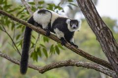 Γραπτός ο κερκοπίθηκος - variegata Varecia, Μαδαγασκάρη Στοκ φωτογραφία με δικαίωμα ελεύθερης χρήσης