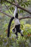 Γραπτός ο κερκοπίθηκος - variegata Varecia, Μαδαγασκάρη Στοκ Εικόνες