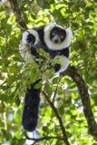 Γραπτός ο κερκοπίθηκος - variegata Varecia, Μαδαγασκάρη Στοκ Εικόνα