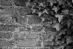 Γραπτός Brickwall με τον κισσό στοκ φωτογραφία με δικαίωμα ελεύθερης χρήσης