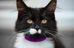 Γραπτό γατάκι με τα μεγάλα μουστάκια και τα μέρη της τρίχας αυτιών στοκ φωτογραφίες με δικαίωμα ελεύθερης χρήσης