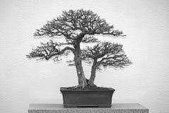 Γραπτό δέντρο μπονσάι Στοκ φωτογραφία με δικαίωμα ελεύθερης χρήσης