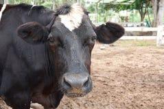 Γραπτό κεφάλι αγελάδων Στοκ Φωτογραφίες