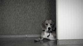 Γραπτό μήκος σε πόδηα ενός σκυλιού που βρίσκεται στο πάτωμα στο σπίτι ενώ η κάμερα γλιστρά