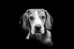 Γραπτό πορτρέτο ενός σκυλιού λαγωνικών Στοκ φωτογραφίες με δικαίωμα ελεύθερης χρήσης