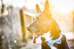 Γραπτό σκυλί σε ένα πάρκο στο ηλιοβασίλεμα με τη φλόγα ήλιων Στοκ εικόνες με δικαίωμα ελεύθερης χρήσης