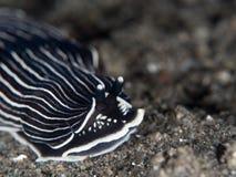 Γραπτό Arminid Nudibranch Στοκ Εικόνες