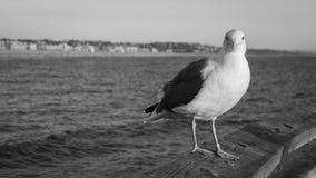 Γραπτό seagull Στοκ Φωτογραφίες
