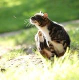 Γρατσουνίζοντας γάτα Στοκ Φωτογραφία