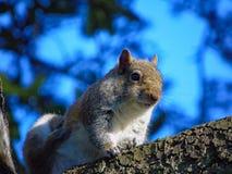 Γρατσουνίζοντας σκίουρος σε έναν κλάδο Στοκ Φωτογραφίες