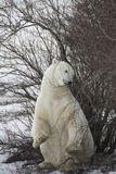 Γρατσουνιά πολικών αρκουδών και ένα μάσημα Στοκ Εικόνες