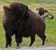 Γρατσούνισμα αγελάδων Buffalo βισώνων πίσω στο κρατικό πάρκο Custer στοκ εικόνα