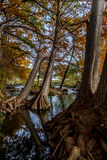 Γραφικά γιγαντιαία δέντρα της Κύπρου με τις ογκώδεις ρίζες. Στοκ Φωτογραφία