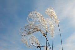 Γραφικά χνουδωτά ξηρά spikelets ενάντια στον μπλε νεφελώδη ουρανό στοκ φωτογραφία