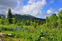Γραφική άποψη του ανθίζοντας αλπικού λιβαδιού στα βουνά Altai, Ρ Στοκ φωτογραφίες με δικαίωμα ελεύθερης χρήσης