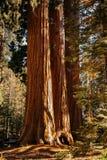 Γραφικός γίγαντας redwoods στο Sequoia εθνικό πάρκο Στοκ φωτογραφία με δικαίωμα ελεύθερης χρήσης