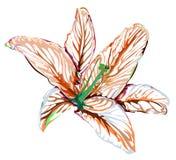 Γραφικός κρίνος λουλουδιών σχεδίου στο άσπρο υπόβαθρο Στοκ εικόνα με δικαίωμα ελεύθερης χρήσης