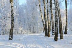 Γραφικό άλσος σημύδων στο hoarfrost, χειμερινό τοπίο στοκ εικόνα