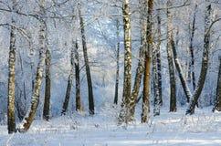 Γραφικό άλσος χειμερινών σημύδων στο hoarfrost στοκ εικόνες