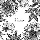 Γραφικό λεπτομερές πλαίσιο με τα peony λουλούδια και τα φύλλα Διανυσματική απεικόνιση που χρωματίζεται με τις σαφείς γραμμές Ρομα Στοκ Εικόνες