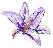 Γραφικό πορφυρό χρώμα κρίνων λουλουδιών σχεδίου στο άσπρο υπόβαθρο Στοκ Εικόνες