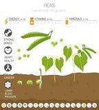 Γραφικό πρότυπο χαρακτηριστικών γνωρισμάτων μπιζελιών ευεργετικό Κηπουρική, καλλιέργεια infographic, πώς αυξάνεται Επίπεδο σχέδιο ελεύθερη απεικόνιση δικαιώματος