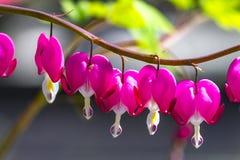 Γραφικό ρόδινο λουλούδι Dicentra μια σπασμένη καρδιά, καρδιά Jeannette, αιμορραγώντας καρδιά Στοκ Φωτογραφία