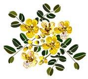 γραφικό σχέδιο από cassia το λουλούδι στο άσπρο υπόβαθρο Στοκ φωτογραφία με δικαίωμα ελεύθερης χρήσης