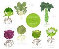Γραφικό σύνολο χαρακτηριστικών γνωρισμάτων λάχανων ευεργετικό Κηπουρική, καλλιέργεια infographic, πώς αυξάνεται Επίπεδο σχέδιο ύφ απεικόνιση αποθεμάτων