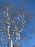 γριά σημύδων Στοκ Εικόνα