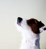 γρύλος σκυλιών russel Στοκ εικόνα με δικαίωμα ελεύθερης χρήσης