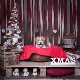 Γρύλος Russel σκυλιών Χριστούγεννα Στοκ Εικόνες