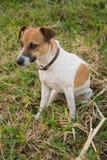γρύλος Russell σκυλιών Στοκ εικόνες με δικαίωμα ελεύθερης χρήσης