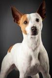 Γρύλος Russell Terrier Στοκ Εικόνες