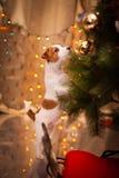 Γρύλος Russel σκυλιών κουτάβι Χριστούγεννα, Στοκ εικόνες με δικαίωμα ελεύθερης χρήσης