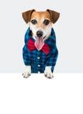 Γρύλος Russel σκυλιών Στοκ Φωτογραφία