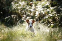 Γρύλος Russel σκυλιών Στοκ φωτογραφία με δικαίωμα ελεύθερης χρήσης