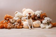 γρύλος Russell σκυλιών Στοκ Φωτογραφίες