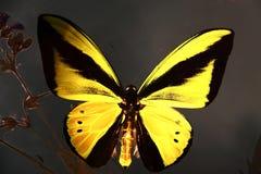 γυαλί πεταλούδων Στοκ Φωτογραφία