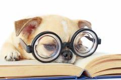 Γυαλιά ένδυσης σκυλιών nerd Στοκ φωτογραφίες με δικαίωμα ελεύθερης χρήσης