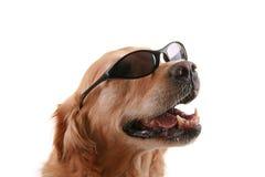 γυαλιά ηλίου σκυλιών Στοκ εικόνες με δικαίωμα ελεύθερης χρήσης