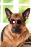 γυαλιά ηλίου σκυλιών Στοκ Φωτογραφίες