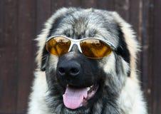 γυαλιά ηλίου σκυλιών Στοκ φωτογραφίες με δικαίωμα ελεύθερης χρήσης