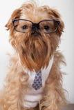 γυαλιά σκυλιών σοβαρά Στοκ Εικόνες
