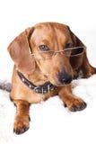 γυαλιά σκυλιών Στοκ Φωτογραφίες