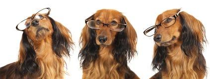 γυαλιά σκυλιών Στοκ Εικόνες