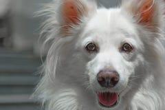 Γυαλί Eyed Pomeranian Στοκ εικόνα με δικαίωμα ελεύθερης χρήσης