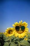 Γυαλιά ηλίου ηλίανθων Στοκ εικόνα με δικαίωμα ελεύθερης χρήσης